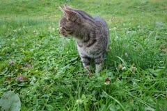 Popielaty, dom wiejski, zwierzęta domowe, koty, trawa, wiejski zwierzę obraz royalty free