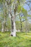 Popielaty drzewo Obrazy Royalty Free
