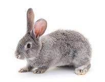 popielaty dziecko królik obraz stock