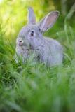 Popielaty dziecko królik w trawie Zdjęcia Stock