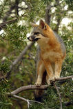 Popielaty Fox na spojrzeniu Out Podczas gdy Stojący w drzewie Fotografia Royalty Free