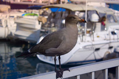 Popielaty frajer w porcie morskim denny ptak na tle jachty Obrazy Stock