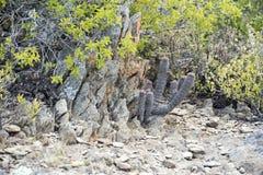Popielaty kaktus Zdjęcie Stock