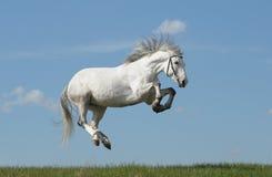 popielaty koń Obraz Stock