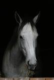 Popielaty koń Zdjęcia Royalty Free
