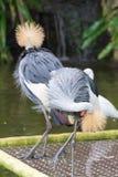 Popielaty koronowany żuraw jest ptakiem w dźwigowym rodzinnym Gruidae Obrazy Stock