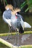Popielaty koronowany żuraw jest ptakiem w dźwigowym rodzinnym Gruidae Zdjęcia Royalty Free