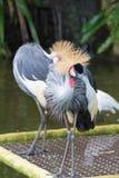 Popielaty koronowany żuraw jest ptakiem w dźwigowym rodzinnym Gruidae Fotografia Royalty Free