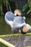 Popielaty koronowany żuraw jest ptakiem w dźwigowym rodzinnym Gruidae Obraz Stock