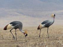 Popielaty koronowany żuraw w Serengeti obraz royalty free