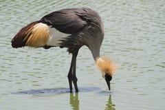 Popielaty Koronowany Dźwigowy ptak zdjęcia royalty free