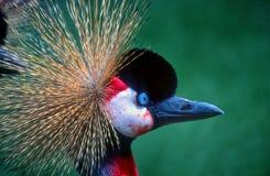 Popielaty koronowany żuraw Fotografia Stock