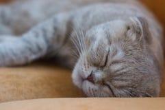 Popielaty kot śpi na kanapie obrazy royalty free