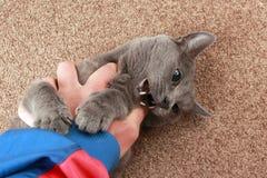 Popielaty kot bawić się z ręką Zdjęcia Stock