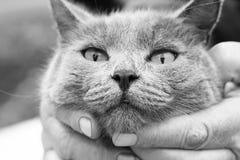 Popielaty kot bezbronny, ochraniający zwierzę zdjęcia stock