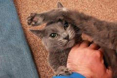 Popielaty kot z poważnym spojrzeniem bawić się z ręką Zdjęcia Stock