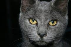 Popielaty kot z złotymi oczami Fotografia Royalty Free