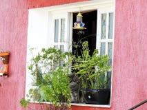 Popielaty kota obsiadanie w otwartym okno Zakrywającym roślinami w Ille Grande, Brazylia, Ameryka Południowa Fotografia Stock