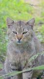 Popielaty kota obsiadanie w zielonej trawy zakończeniu, poważny zwierzę domowe w dzikim Zdjęcia Royalty Free