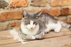 Popielaty kota odpoczywać Obrazy Stock