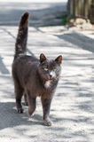 Popielaty kota odprowadzenie na drodze Obrazy Royalty Free