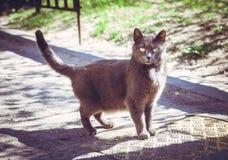 Popielaty kota odprowadzenie na drodze Zdjęcie Royalty Free