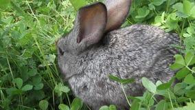 Popielaty królik koniczyny gazon zbiory wideo
