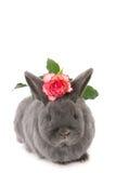 Popielaty królik z menchią szczerbił różanego Zdjęcia Royalty Free