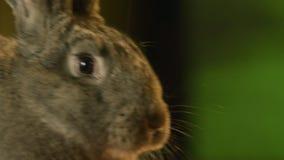 Popielaty królika obwąchania arround zbiory