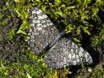 Popielaty krakersa motyl przy odpoczynkiem z otwartymi skrzydłami Fotografia Stock