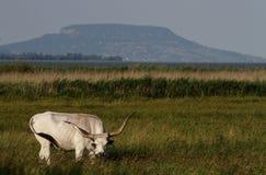 popielaty krowy hungarian Zdjęcie Stock