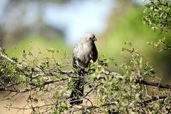 Popielaty Lourie lub oddalony ptak - Botswana Zdjęcia Stock