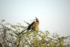 Popielaty lourie w Botswana obraz stock