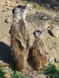 popielaty meerkats suricata suricatta Fotografia Royalty Free