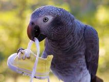 popielaty mienia papugi but Zdjęcia Stock