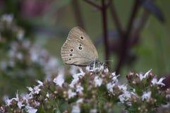 Popielaty motyl na łąkowym lecie Obrazy Royalty Free