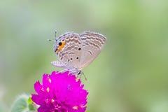 Popielaty motyl na purpura kwiacie Obrazy Royalty Free