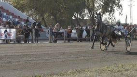 Popielaty nicielnica koń z dżokejem kłusuje koniec (zwolnione tempo) zdjęcie wideo