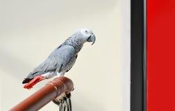 Popielaty papuzi Psittacus erithacus Zdjęcia Royalty Free