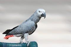 Popielaty papuzi Psittacus erithacus Zdjęcie Royalty Free