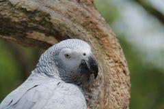 Popielaty Papuzi ptak Obraz Royalty Free