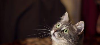 Popielaty piękny kot Zdjęcia Royalty Free