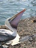 Popielaty pokojowy pelikan Obraz Royalty Free