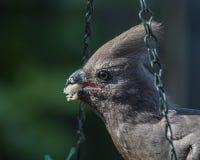 Popielaty ptak bierze jedzenie od ptasiego karmienie punktu Zdjęcia Stock