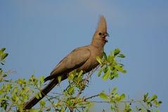 Popielaty ptak (Corythaixoides concolor) fotografia royalty free