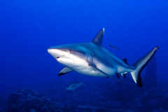 Popielaty rekin ględzi gotowego atakować podwodnego zakończenie w górę portreta Obraz Stock