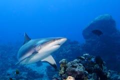Popielaty rekin ględzi gotowego atakować podwodnego zakończenie w górę portreta Zdjęcia Stock