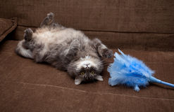 Popielaty rosyjski kot w domu Zdjęcie Royalty Free