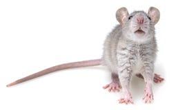 Popielaty szczur Fotografia Stock