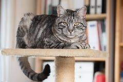 Popielaty tabby kot na platformie w biurze zdjęcie stock